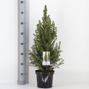Picea glauca 'Conica' (Bremmer Boomkwekerijen)