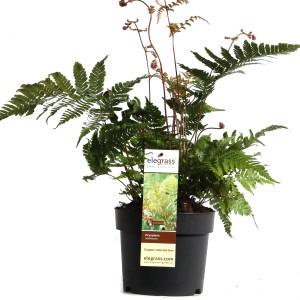Dryopteris erythrosora (Hoogeveen Plants)