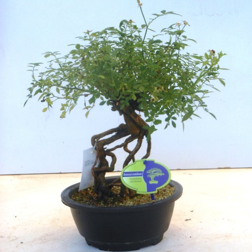 Rhododendron indicum (Lodder Bonsai BV)