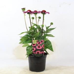 Echinacea purpurea 'Little Magnus' (B.D. Rijnbeek Boomkwekerijen B.V.)