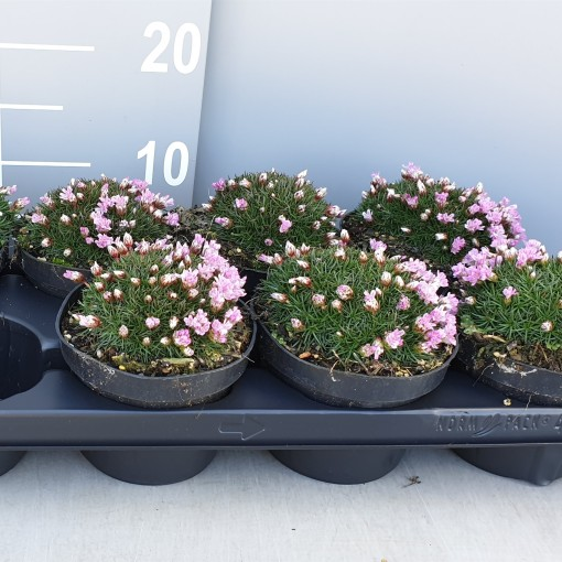 Armeria juniperifolia 'Brno' (Leeuw-den Engelsen)
