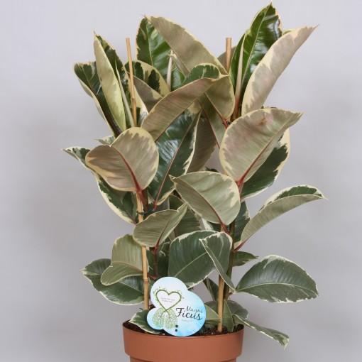 Ficus elastica 'Tineke' (Peeters Potplanten)