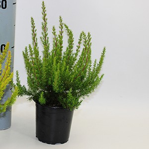 Erica arborea 'Alpina' (Experts in Green)