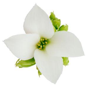 Kalanchoe blossfeldiana ORIGINALS MAIKA (Queen - Knud Jepsen a/s)
