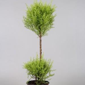 Cupressus macrocarpa 'Goldcrest Wilma'