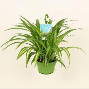 Chlorophytum comosum 'Hawaiian'