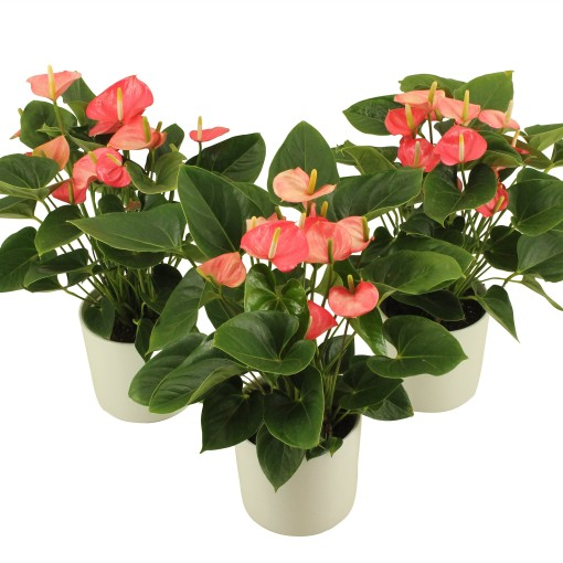 Anthurium 'Flamingo Pink' (Flamingo Plant)