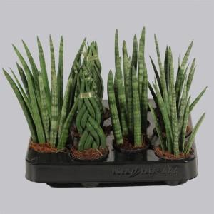 Sansevieria cylindrica MIX