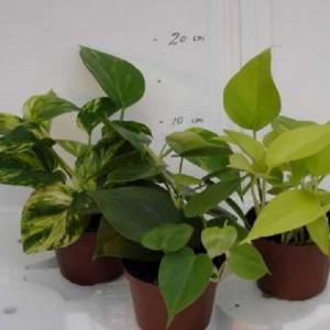 Epipremnum pinnatum MIX
