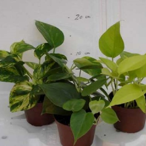 Epipremnum pinnatum MIX (Gasa DK)