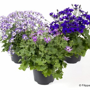Pericallis SENETTI MIX