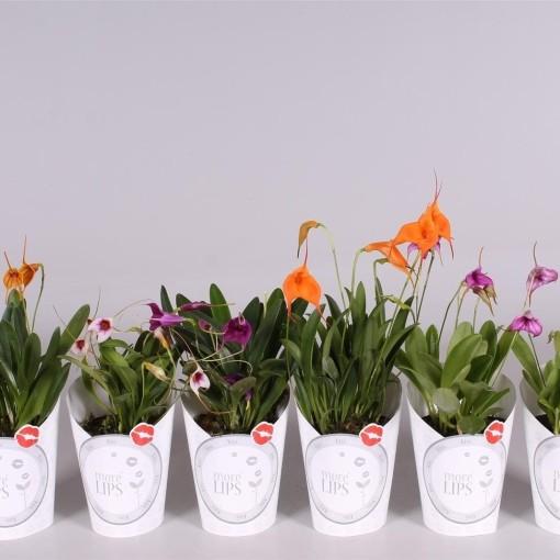 Masdevallia MIX (Lansbergen Orchids)