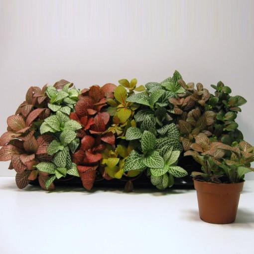 Fittonia MIX (Schoenmakers Tropische Potcultures)
