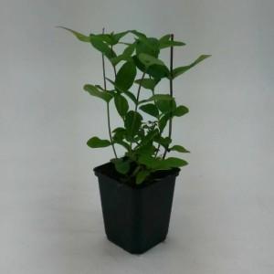 Hypericum x inodorum 'Beauty' (WTM de Boer)