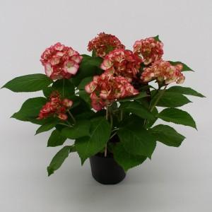 Hydrangea macrophylla HOVARIA RIPPLE