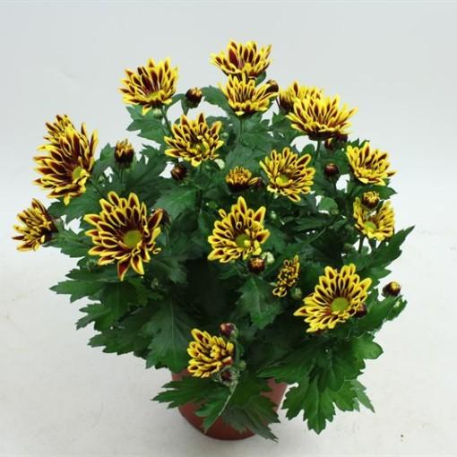 Chrysanthemum SAWADEE (Gebr Nederpel Potplanten)