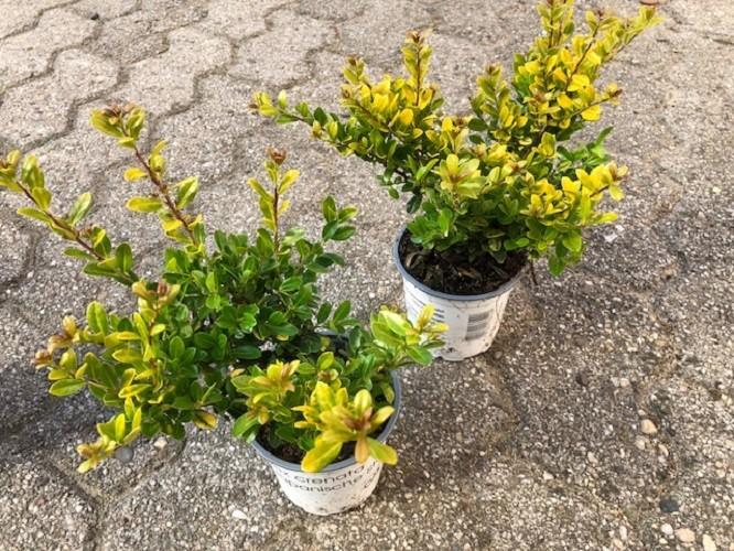 ilex crenata 39 golden gem 39 p10cm h20cm floraccess wholesale of plants. Black Bedroom Furniture Sets. Home Design Ideas