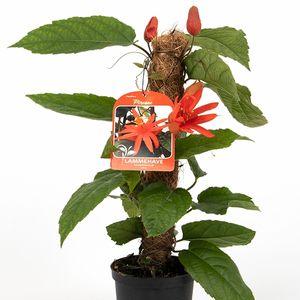 Passiflora x piresae