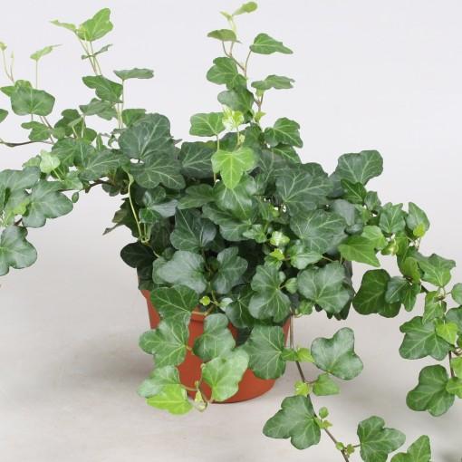 Hedera helix 'Wonder' (Vireõ Plant Sales)