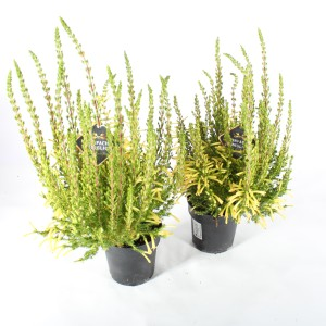 Erica curviflora (Experts in Green)