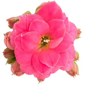 Kalanchoe blossfeldiana ROSE FLOWERS BARBARA (Queen - Knud Jepsen a/s)