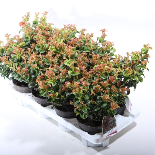 Leucothoe axillaris 'Curly Red' (Experts in Green)