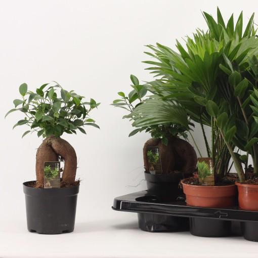 Foliage plants MIX (Duijn-Hove B.V. , Kwekerij)