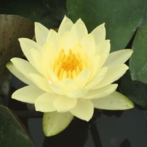 Nymphaea 'Joey Tomocik' (Moerings Waterplanten)