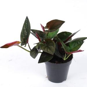 Syngonium erythrophyllum 'Red Arrow'