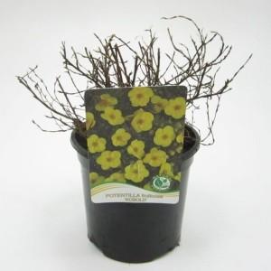 Potentilla fruticosa 'Kobold' (WTM de Boer)