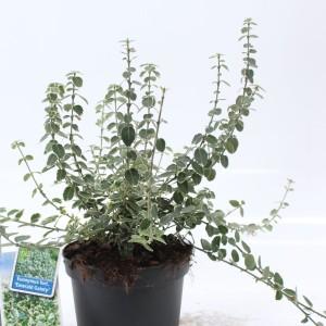 Euonymus fortunei 'Emerald Gaiety' (About Plants Zundert BV)