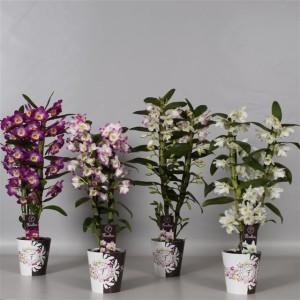 Dendrobium nobile MIX (De Hoog Orchids)