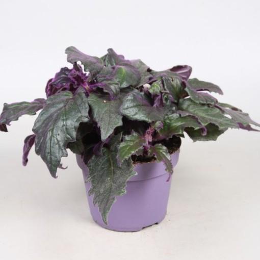 Gynura aurantiaca (Vireõ Plant Sales)