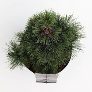 Pinus pumila 'Glauca' (Bremmer Boomkwekerijen)