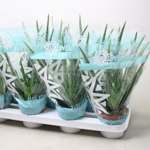Aloe vera (Ubink)