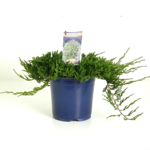 Juniperus horizontalis 'Wiltonii' (Kwekerij Vredebest)