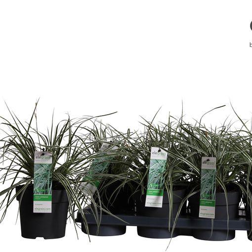 Carex oshimensis EVERCOLOR EVEREST (Hoogeveen Plants)