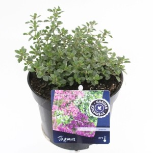 Thymus x citriodorus 'Silver Queen'