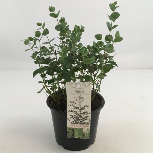 Eucalyptus gunnii (Special Plant Zundert)