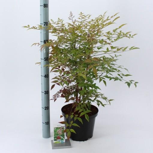 Nandina domestica 'Compacta' (About Plants Zundert BV)