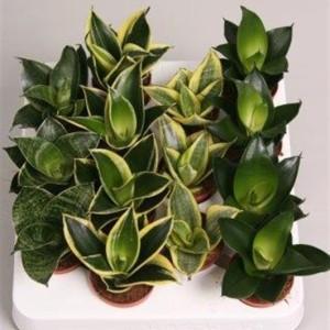 Sansevieria trifasciata MIX (Handelskwekerij van der Velden)