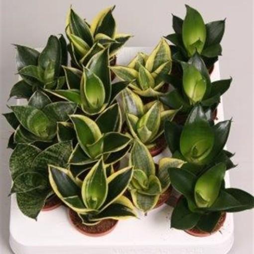 Sansevieria trifasciata MIX (van der Velden, Hkw.)