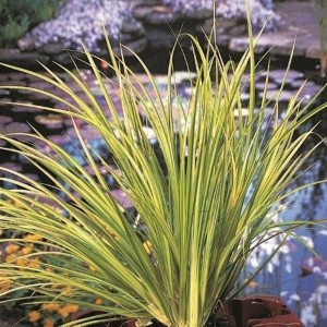 Acorus gramineus 'Ogon' (Moerings Waterplanten)