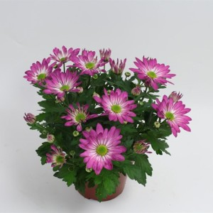 Chrysanthemum RAINBOW ROSY