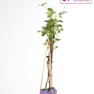 Clematis 'Polish Spirit' (Hoogeveen Plants)