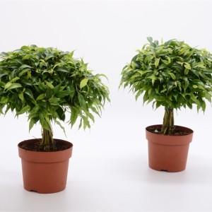 ficus benjamina 39 green kinky 39 floraccess. Black Bedroom Furniture Sets. Home Design Ideas
