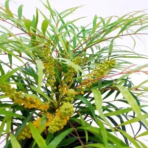 Mahonia eurybracteata 'Soft Caress' (Dool Botanic)