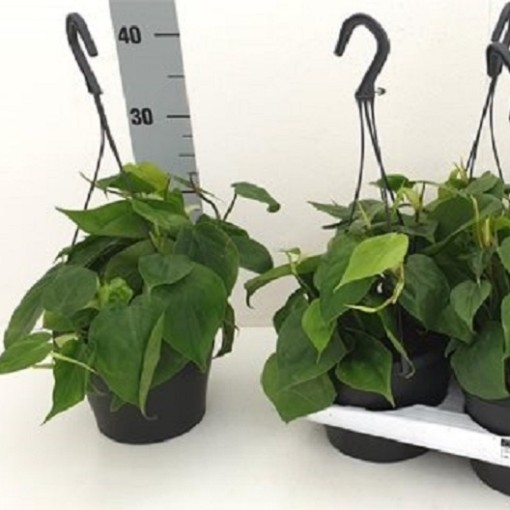 Philodendron scandens (RuBa Baers)