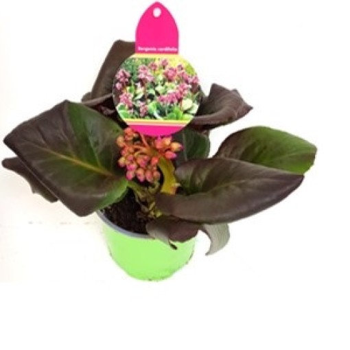 Bergenia cordifolia SHOESHINE ROSE (Experts in Green)