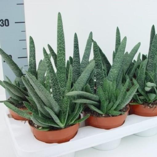 Gasteria carinata verrucosa (van der Hoorn Succulenten)
